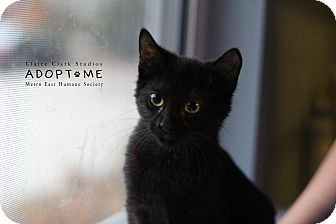 Domestic Shorthair Cat for adoption in Edwardsville, Illinois - Davie