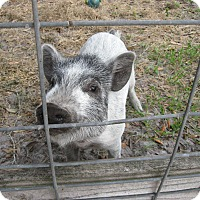 Adopt A Pet :: Oinkers(PB-Pig Mix) - Christmas, FL