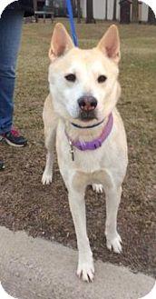 Husky/Labrador Retriever Mix Dog for adoption in Madison Heights, Michigan - Cloe - Urgent