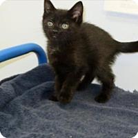 Domestic Mediumhair Cat for adoption in Indiana, Pennsylvania - Riff