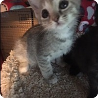 Adopt A Pet :: Tom Girl - Kennedale, TX