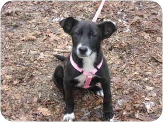 Labrador Retriever/Border Collie Mix Puppy for adoption in Windham, New Hampshire - Katie
