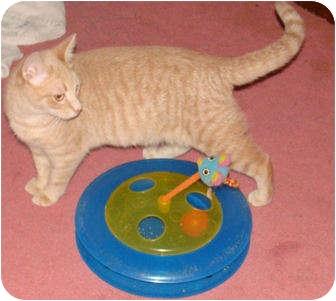 Domestic Shorthair Cat for adoption in Spotsylvania, Virginia - Dusty
