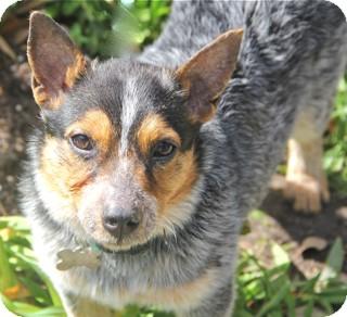 Australian Cattle Dog Mix Puppy for adoption in Norwalk, Connecticut - Margo - adoption pending