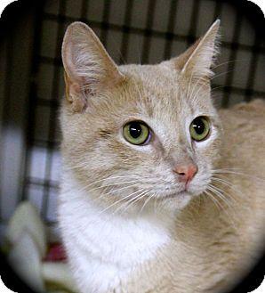 Domestic Shorthair Cat for adoption in Weimar, California - Sheba