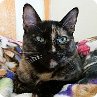 Domestic Shorthair Kitten for adoption in Mountain Center, California - Gwynneth Pawtrow