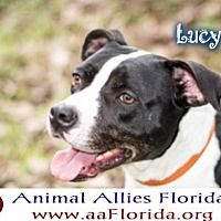 Pit Bull Terrier/Labrador Retriever Mix Dog for adoption in Pensacola, Florida - Lucy