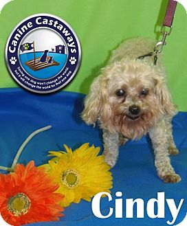 Poodle (Miniature)/Maltese Mix Dog for adoption in Arcadia, Florida - Cindy