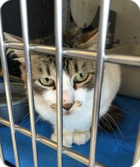 Domestic Shorthair Cat for adoption in Burlington, Washington - Barn Cats Available!