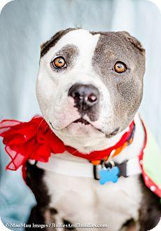 Pit Bull Terrier Dog for adoption in Redondo Beach, California - Spanky!