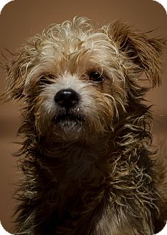Terrier (Unknown Type, Small) Mix Dog for adoption in Westminster, California - Eucalyptus