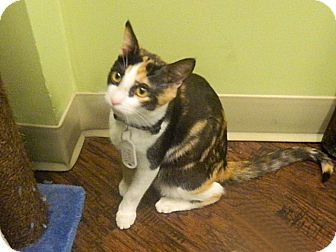 Calico Kitten for adoption in The Colony, Texas - Kappa