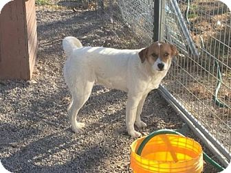 Australian Cattle Dog Mix Dog for adoption in Trenton, New Jersey - Vinta