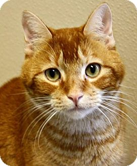 Domestic Shorthair Cat for adoption in Richland Hills, Texas - Buddy