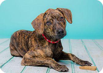 Hound (Unknown Type) Mix Puppy for adoption in New York, New York - Tiger