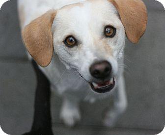 Beagle Mix Dog for adoption in Canoga Park, California - Cassidy