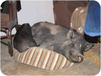 Pig (Potbellied) for adoption in Las Vegas, Nevada - Beyonce