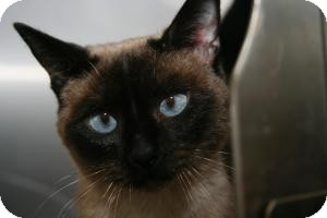 Siamese Cat for adoption in East Brunswick, New Jersey - Amelia