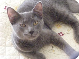 Domestic Shorthair Cat for adoption in Newburgh, New York - Squirt