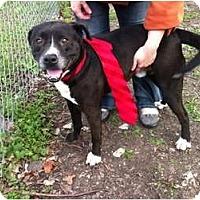 Adopt A Pet :: Boomer (sweet older gentleman - Copperas Cove, TX