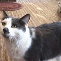 Adopt A Pet :: Smudges - Cranford/Rartian, NJ