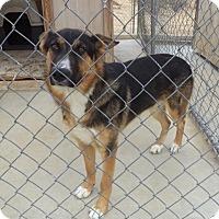 German Shepherd Dog Mix Dog for adoption in Pearblossom, California - Docker
