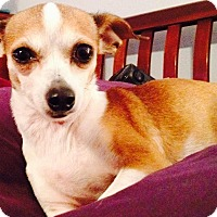 Adopt A Pet :: Gracie (chi) - Wichita Falls, TX
