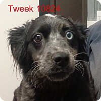 Adopt A Pet :: Tweek - Greencastle, NC