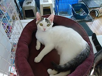 Domestic Shorthair Cat for adoption in Dale City, Virginia - Dani