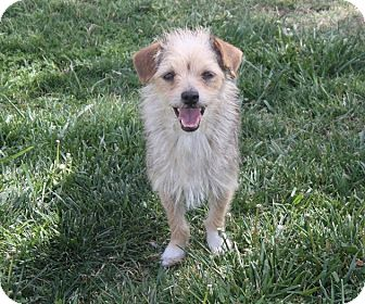 Terrier (Unknown Type, Small) Mix Dog for adoption in Henderson, Nevada - Sailor