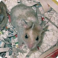 Adopt A Pet :: Evee - Bensalem, PA