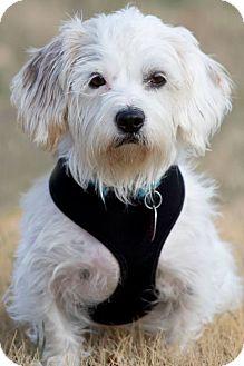 Maltese Mix Dog for adoption in Broken Arrow, Oklahoma - Metcalf