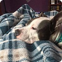 Adopt A Pet :: Paisley - New Canaan, CT