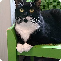 Domestic Shorthair Cat for adoption in Austintown, Ohio - Isabelle