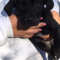 Adopt A Pet :: Holly - Cashiers, NC