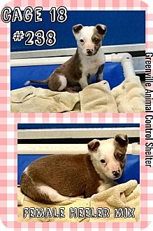 Australian Cattle Dog Mix Puppy for adoption in Greenville, Texas - Cage 18