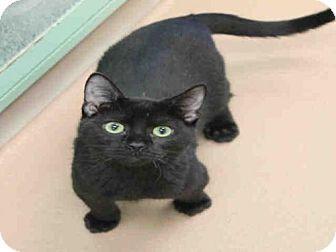 Domestic Mediumhair Kitten for adoption in Plano, Texas - WHITTAKER