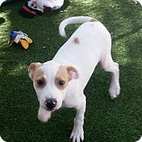 Adopt A Pet :: Duncan - Mesa, AZ