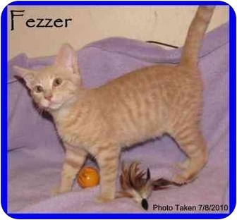 Domestic Shorthair Cat for adoption in Orlando, Florida - Fezzer