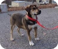 German Shepherd Dog/Labrador Retriever Mix Dog for adoption in Windham, New Hampshire - Kelso