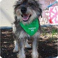 Adopt A Pet :: Wesley - Arlington, TX