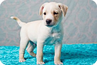 Shepherd (Unknown Type) Mix Puppy for adoption in Houston, Texas - Peter