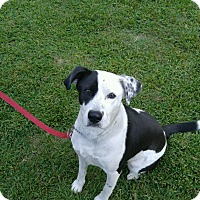 Dalmatian/Labrador Retriever Mix Dog for adoption in Goldsboro, North Carolina - Roscoe