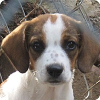 Adopt A Pet :: Brulee - Allentown, PA