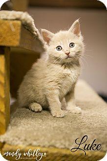Domestic Mediumhair Kitten for adoption in Columbia, Tennessee - Luke