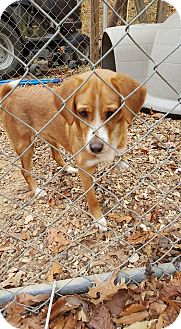 Beagle Mix Puppy for adoption in Ardmore, Pennsylvania - Pretty Girl Steele