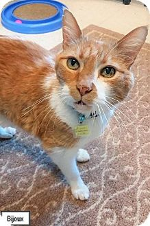Domestic Shorthair Cat for adoption in Lakewood, Colorado - Bijoux