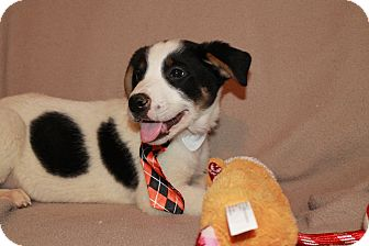 Australian Shepherd/Australian Cattle Dog Mix Puppy for adoption in Southington, Connecticut - Spike