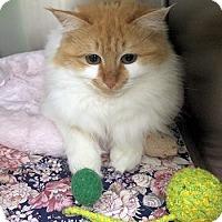 Adopt A Pet :: Chia - Lunenburg, MA