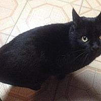 Adopt A Pet :: Blackie - Plain City, OH